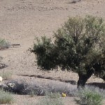 Berber met z'n schapen