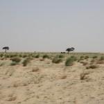 Wilde kamelen!